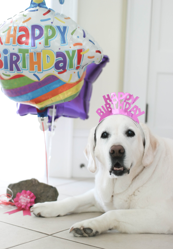 Yellow Lab wearing Happy Birthday headband, cupcake balloon