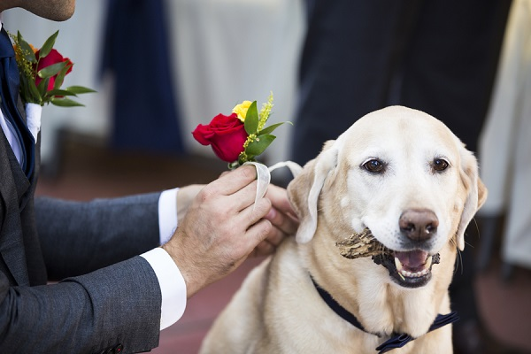 Wedding dog, Yellow Lab with boutonniere, wedding dog holding a stick