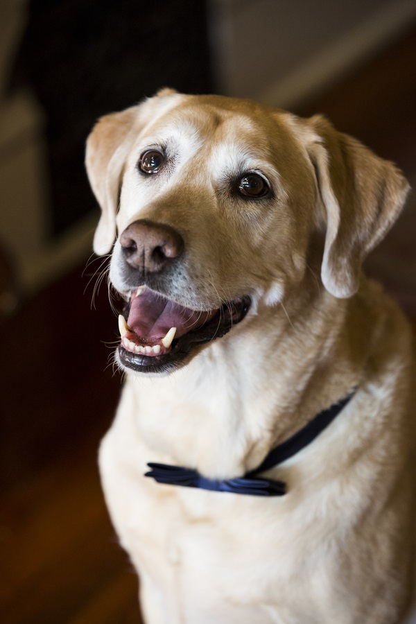 handsome Yellow Lab in navy bow tie, wedding dog