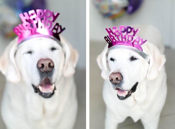 Yellow Lab wearing Happy Birthday headband