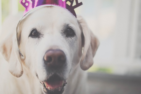 Yellow Lab wearing Birthday crown