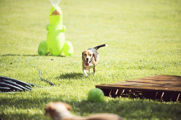 Beagle backyard birthday party