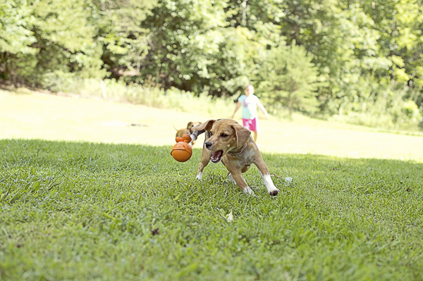 Beagle chasing dog toy, Lil Sharkie