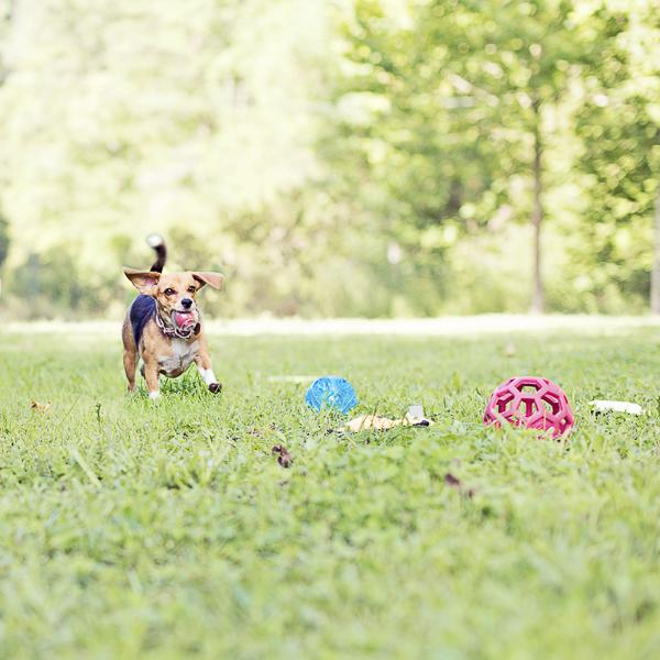 Young Beagle running in backyard