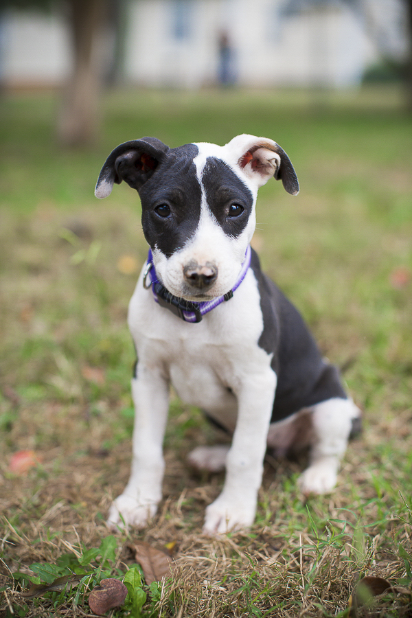 adoptable puppy, Humane Society Union County, NC