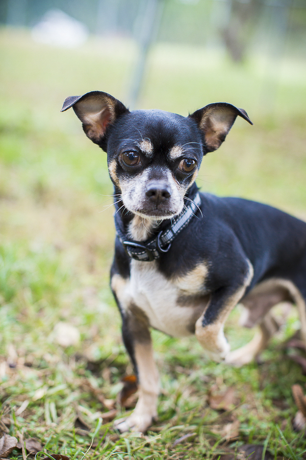 adoptable dog, Humane Society Union County, NC, Chihuahua mix