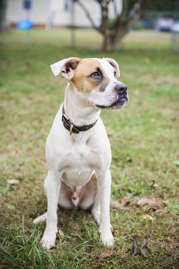 adoptable dog, Humane Society Union County, NC, Boxer-Lab mix