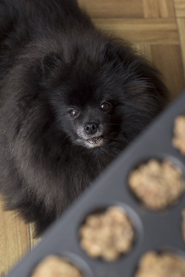 Pomeranian looking at dog cupcakes