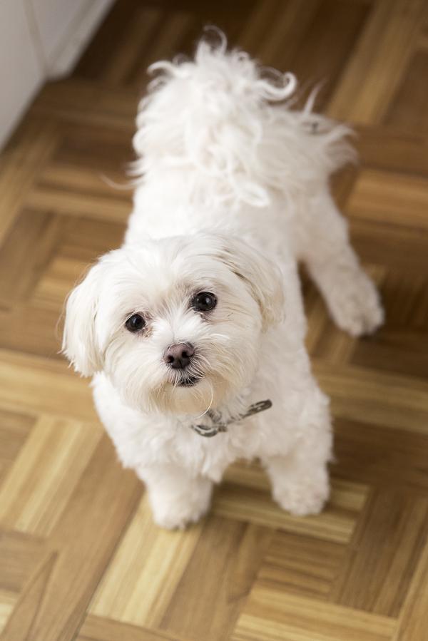 senior Maltese looking up, lifestyle dog photography