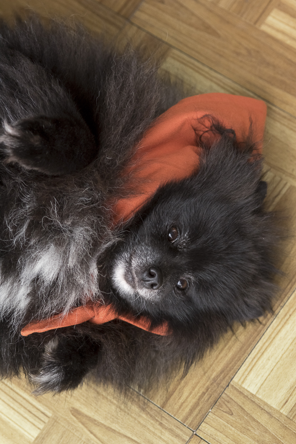 black Pomeranian laying on back