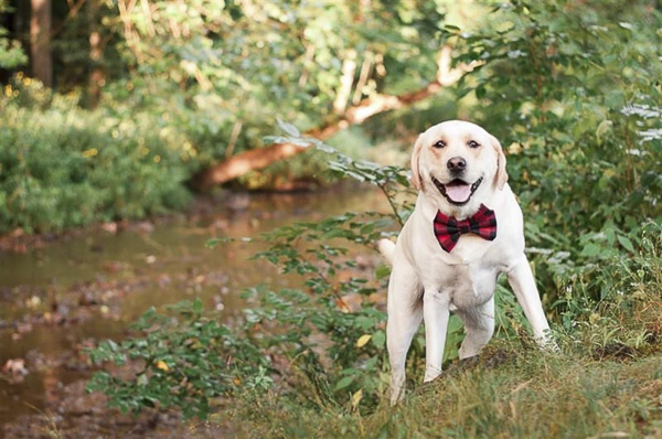 Huckleberry the Pup, Yellow Lab in red buffalo plaid bow tie, lifestyle dog photography