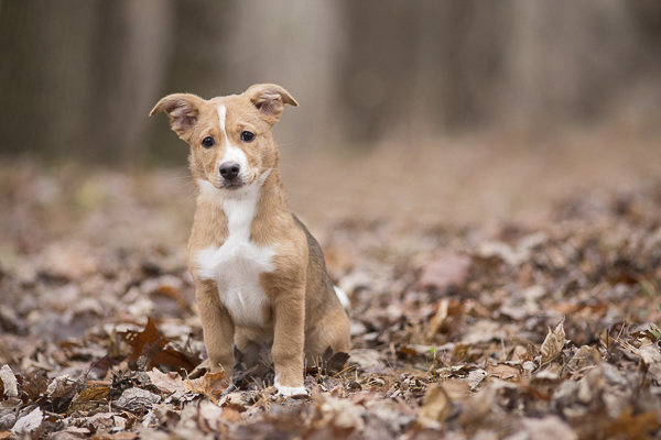 cute brown white puppy sitting in dead leaves, on location dog photography
