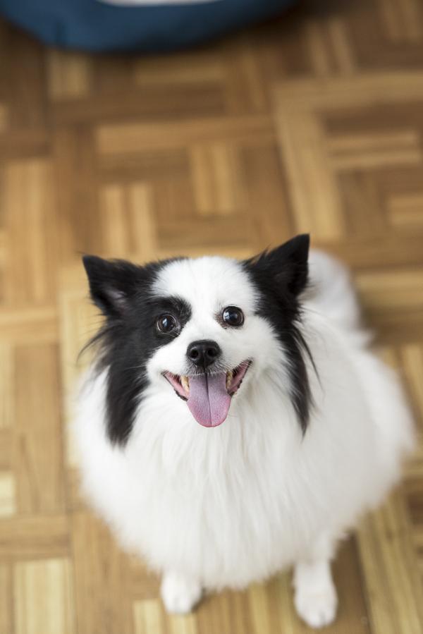 happy Black and White Pomeranian-American Eskimo mix, mixed breed