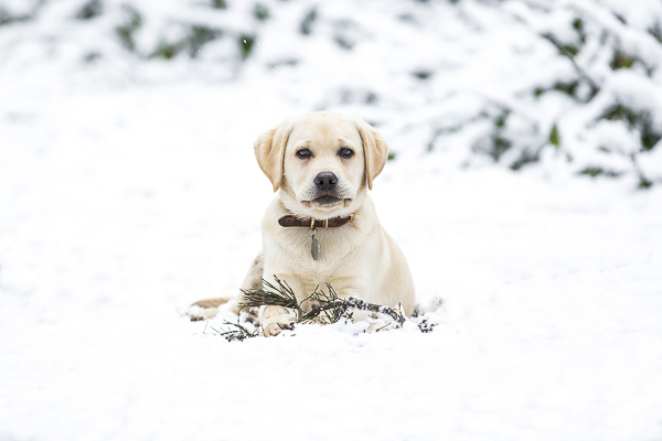 yellow Labrador Retriever Puppy in snow, engagement photos with dogs