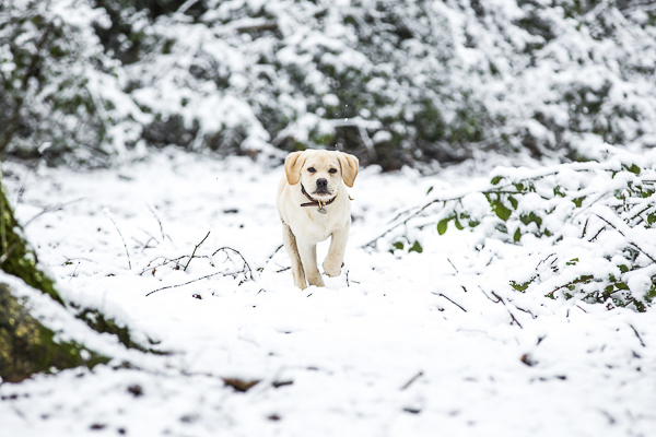 Yellow Lab puppy walking in snow, winter wonderland pup, on location dog photography