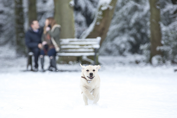 Yellow Lab puppy running through snow, engagement photos with dogs