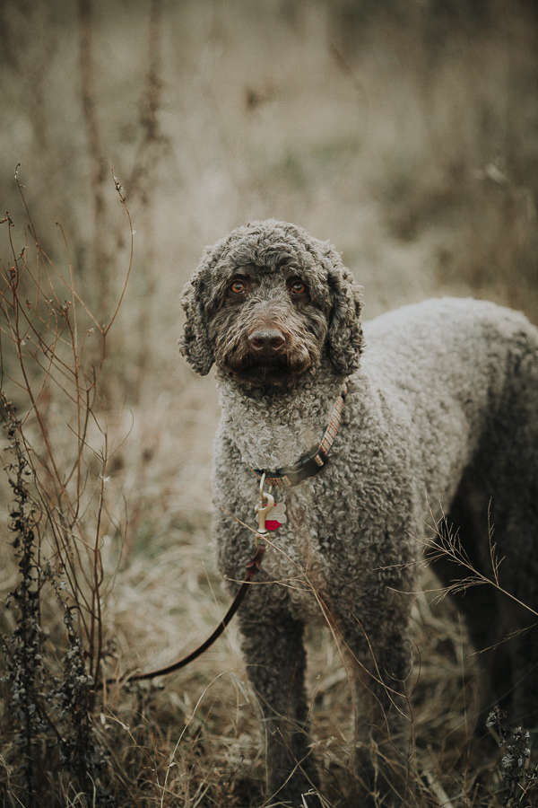 handsome Labradoodle with human eyes, lifestyle dog photography