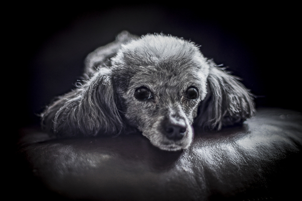 Toy French Poodle, lifestyle dog photography