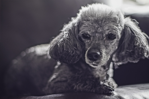 Toy Poodle, lifestyle dog photography, black white pet portraits