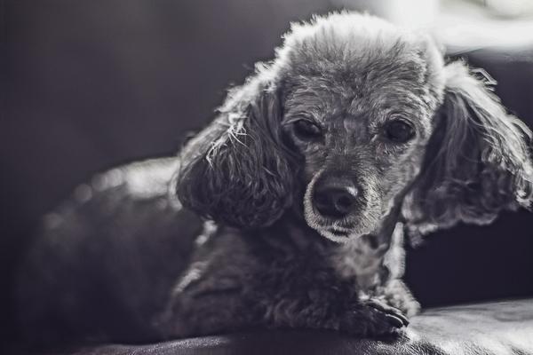 Toy Poodle, lifestyle dog photography, black white pet portraits