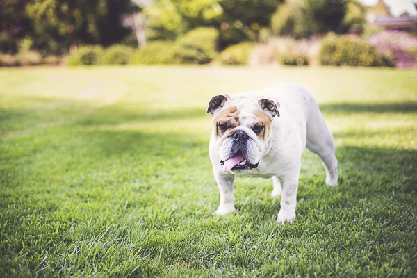 English Bulldog standing on grass, lifestyle dog photography