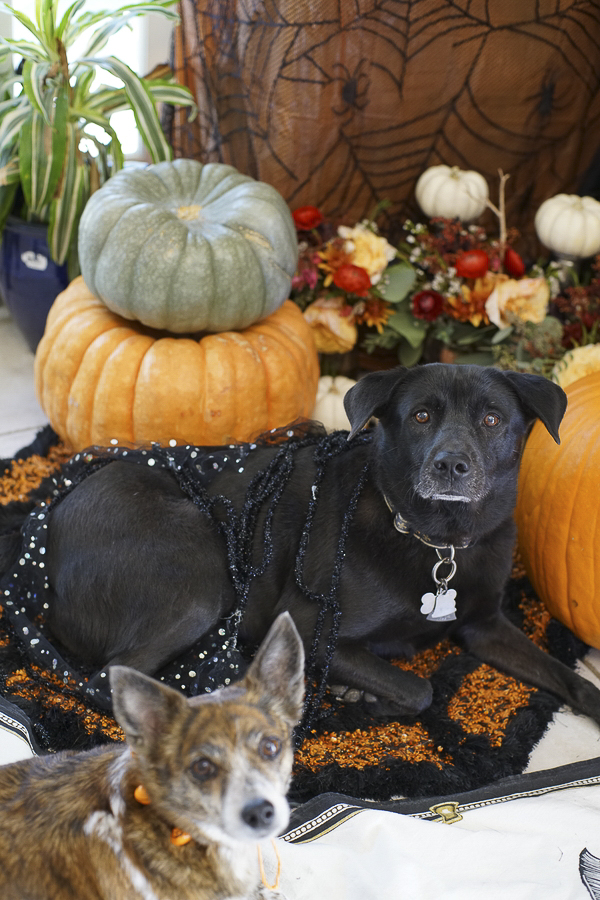 Halloween decor and dogs