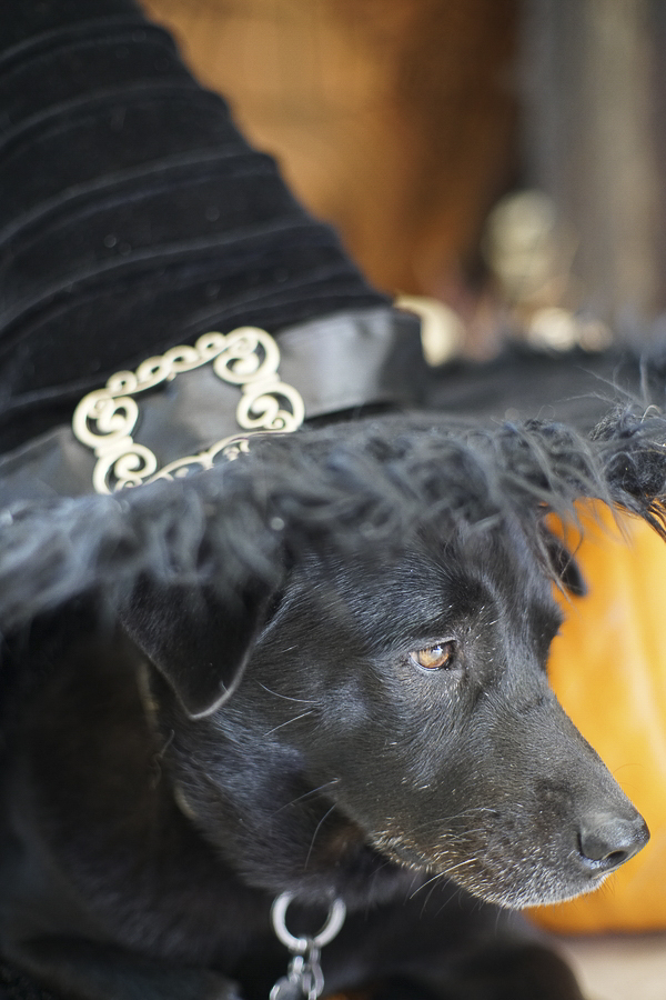 dog in witch hat, Howl-O-Ween