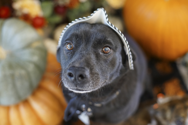 black dog with mask on top of head, Howl-O-Ween