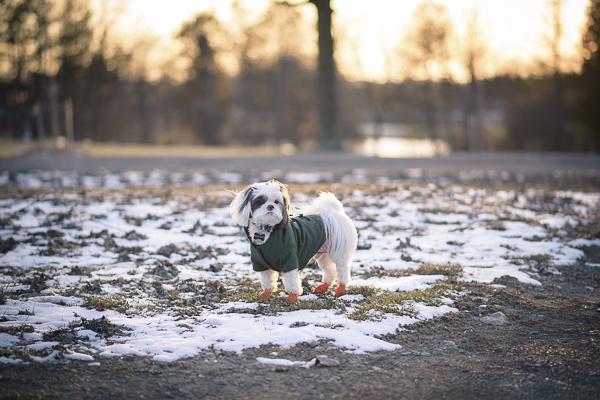 tiny deaf dog, ShihTzu
