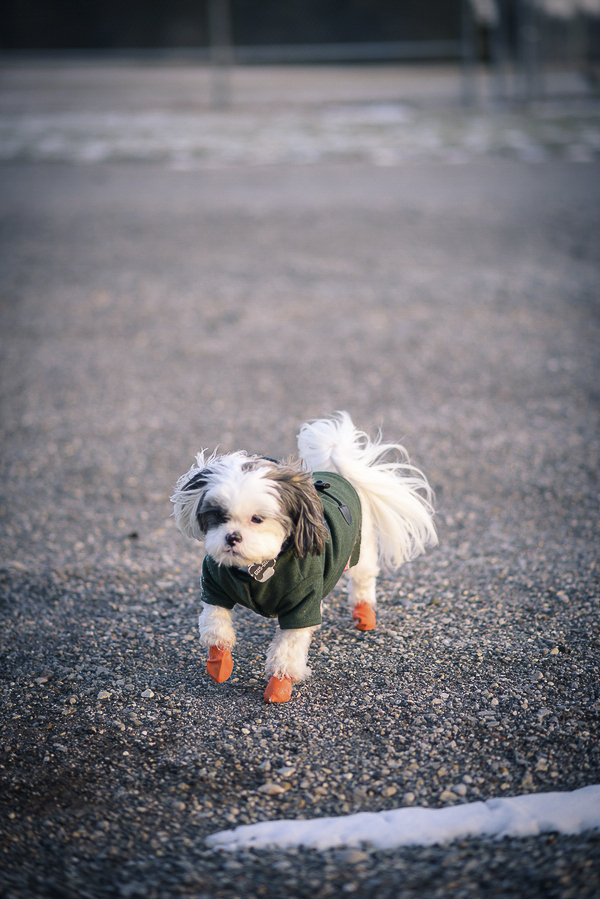 little dog wearing green coat and orange boots, dogs in winter