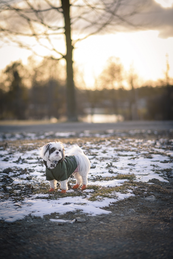 little dog standing in patch of snow