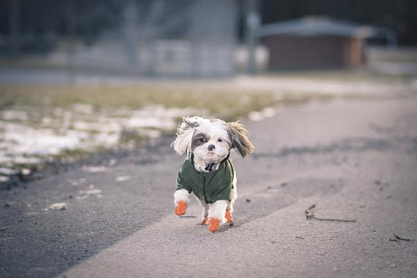 Shih Tzu wearing green coat and orange boots, winter dog photography