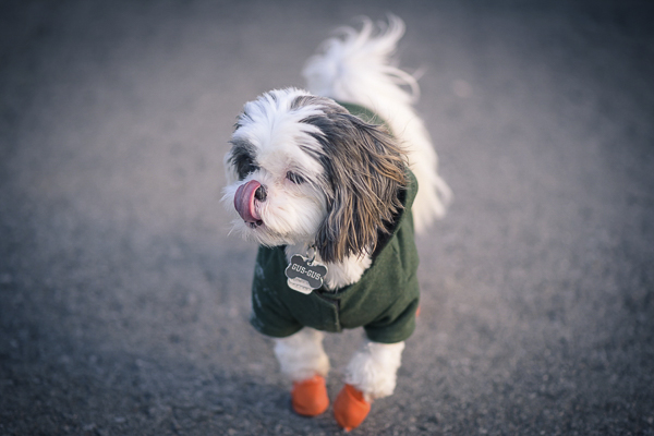 Gus-Gus, tiny deaf dog, tongue out