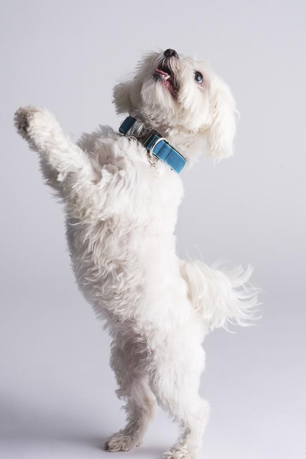 small white dog wearing teal collar, velvet collar, happy dog