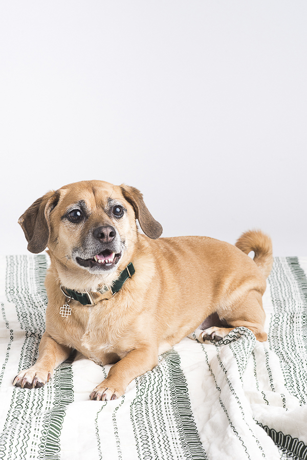 handsome Puggle wearing green velvet collar, studio dog photography