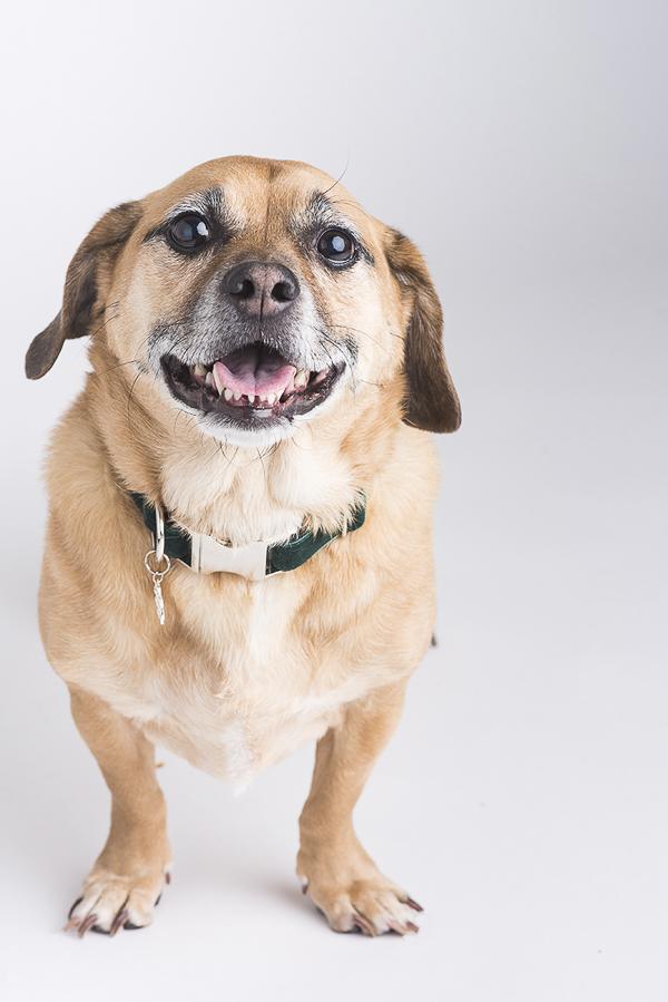 smiling mixed breed, Puggle mix, Studio dog portraits