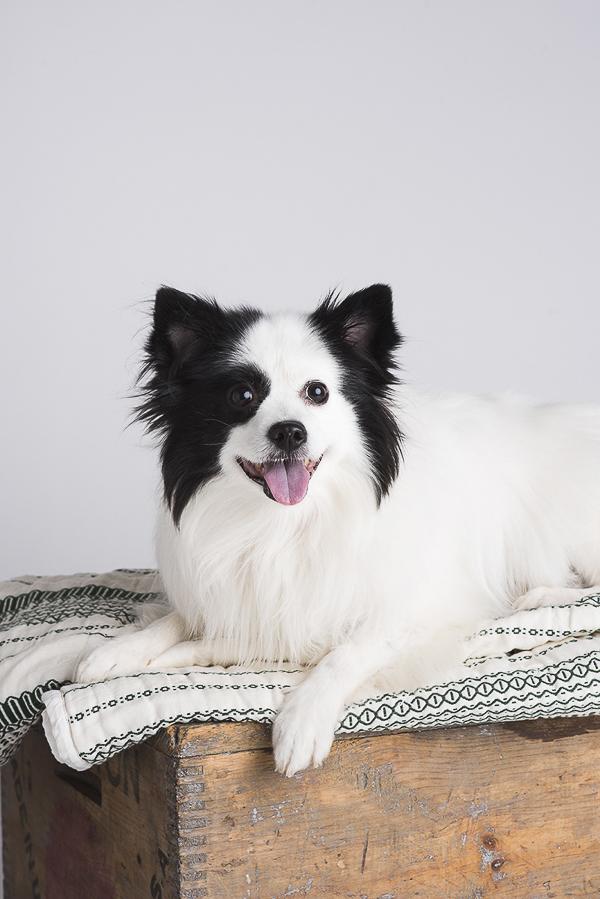 American Eskimo-Pomeranian mix, studio portrait pet photography