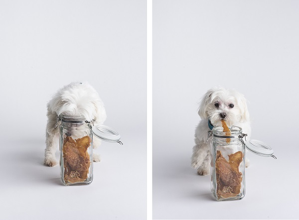 dog helping herself to chicken jerky treats, studio dog portraits