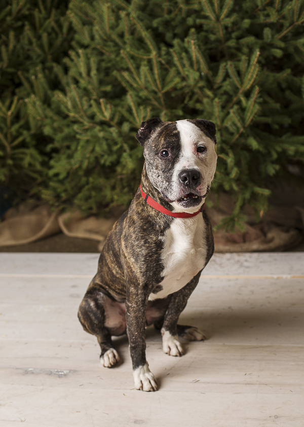 Dan Cosgrove Animal Shelter, adoptable dog, Freedom the Terrier Mix