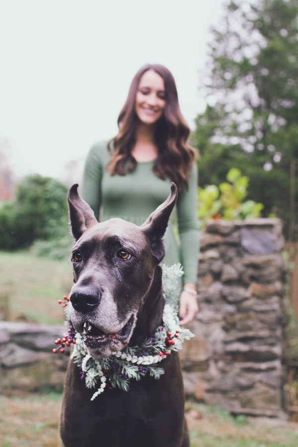 Great Dane Christmas photo