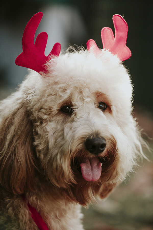 Goldendoodle wearing red antlers, Howliday photos, lifestyle dog photography