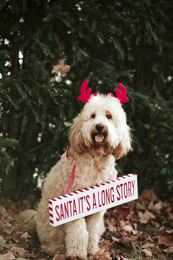 "canine holiday photos, Golden doodle wearing red antlers and ""Santa it's a long story"" sign"