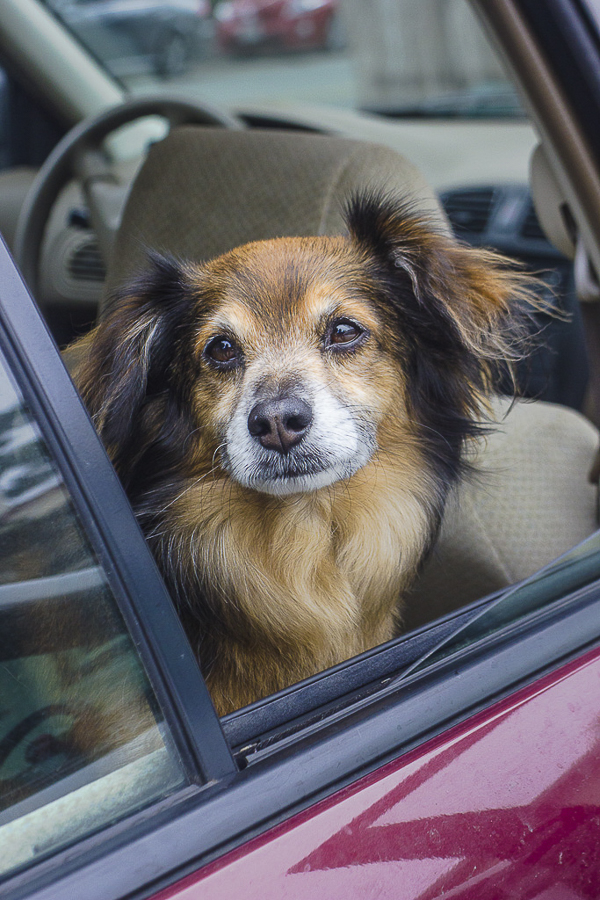 sweet senior dog looking out car window,