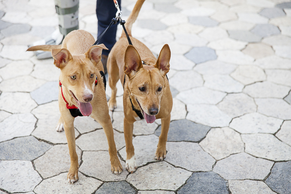 rescue dogs make great companions, two brown dogs walking on leash