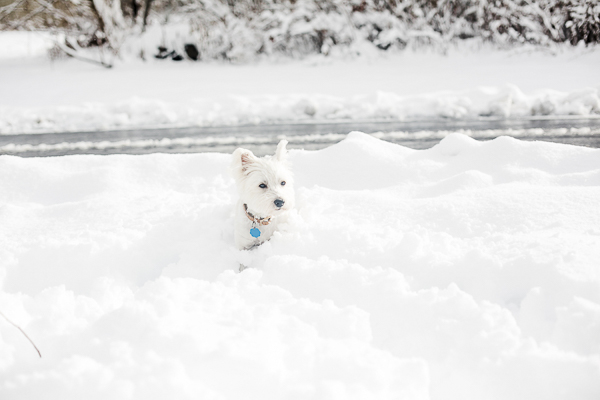 Westie in deep snow, ©Casey Hendrickson Photography | on location dog photography