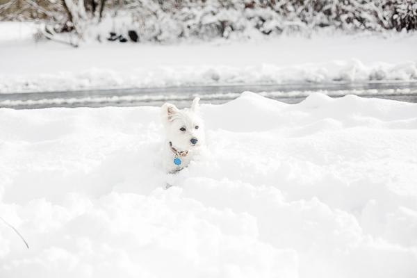 Westie in deep snow, ©Casey Hendrickson Photography | on location dog photography