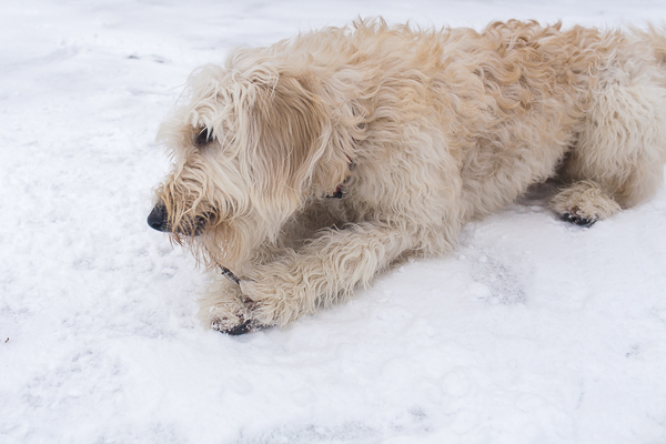 Golden doodle pup chewing on small stick, snow dog