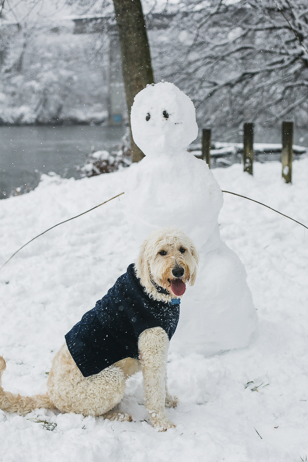 Goldendoodle wearing coat and snowman friend, big snow, NC dog photography