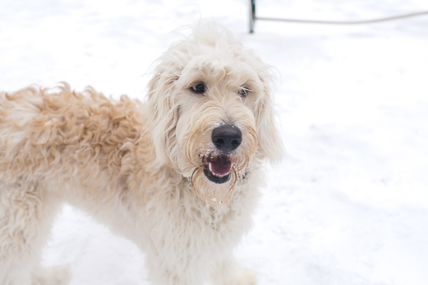 Golden doodle in the snow