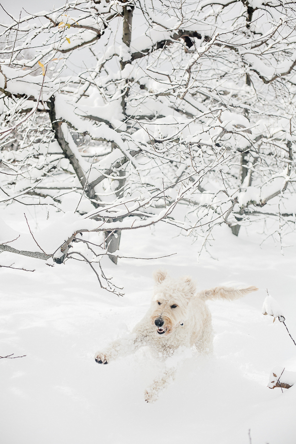 Goldendoodle running through the snow, on location dog photography, winter dog portraits